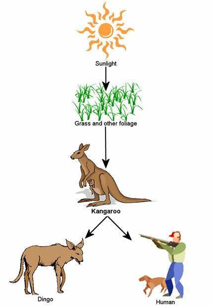 Red Kangaroo Food Chain