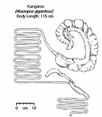 Kangaroo genitalia anatomy